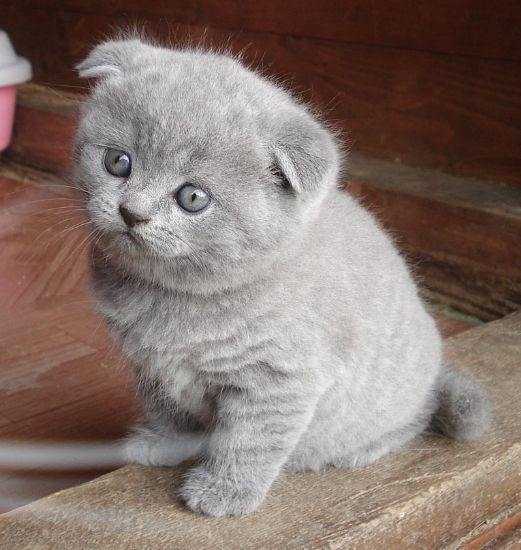 (GRATIS) Gattini scottish fold femmina e maschio