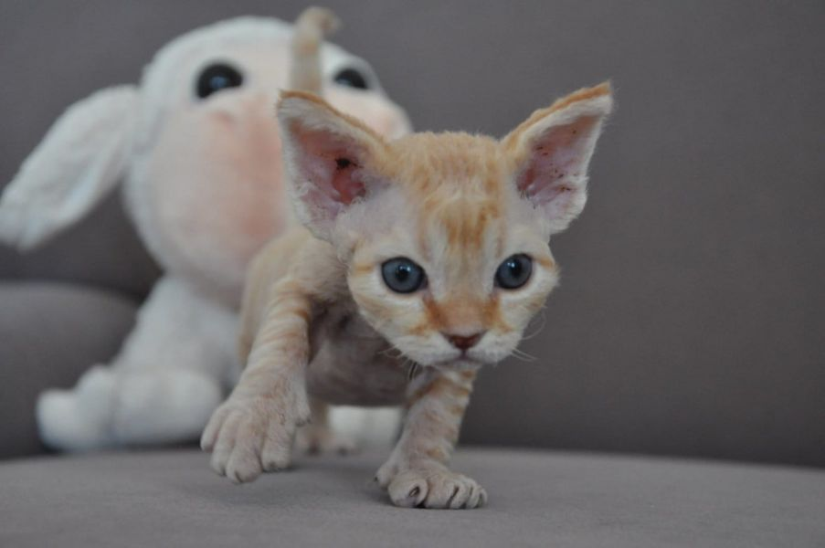 gattini Devon rex   ( per regalo )