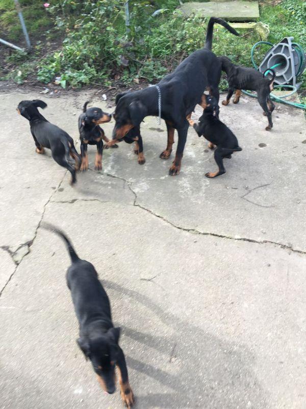 Regalo adorabili cuccioli Dobermann