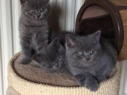BRITISH SHORTHAIR,  (IN REGALO) Disponibili subito bellissimi gattini british