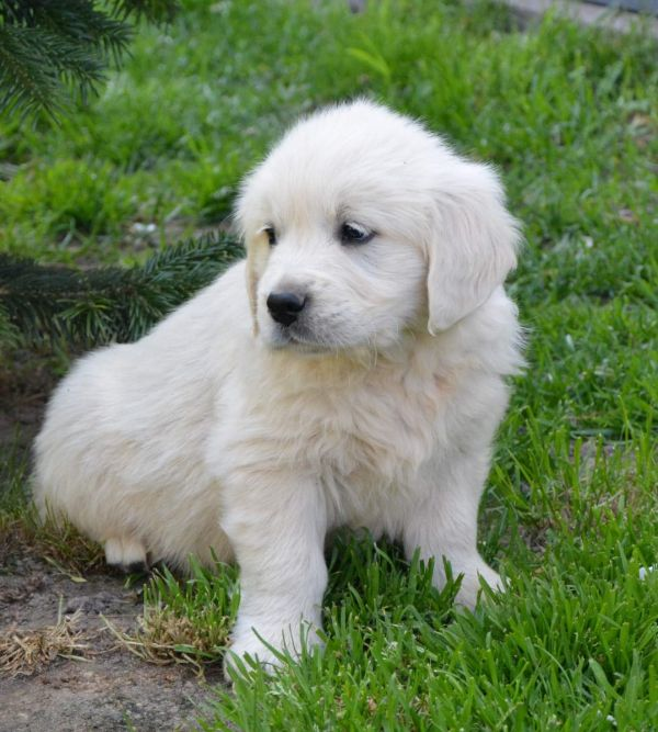 Cuccioli di golden retriever  ( per regalo )