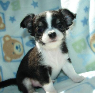 Regalo chihuahua mini toy cuccioli disponible per l 39 adozione for Regalo a chi