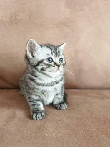 Scottish fold / british shorthair .