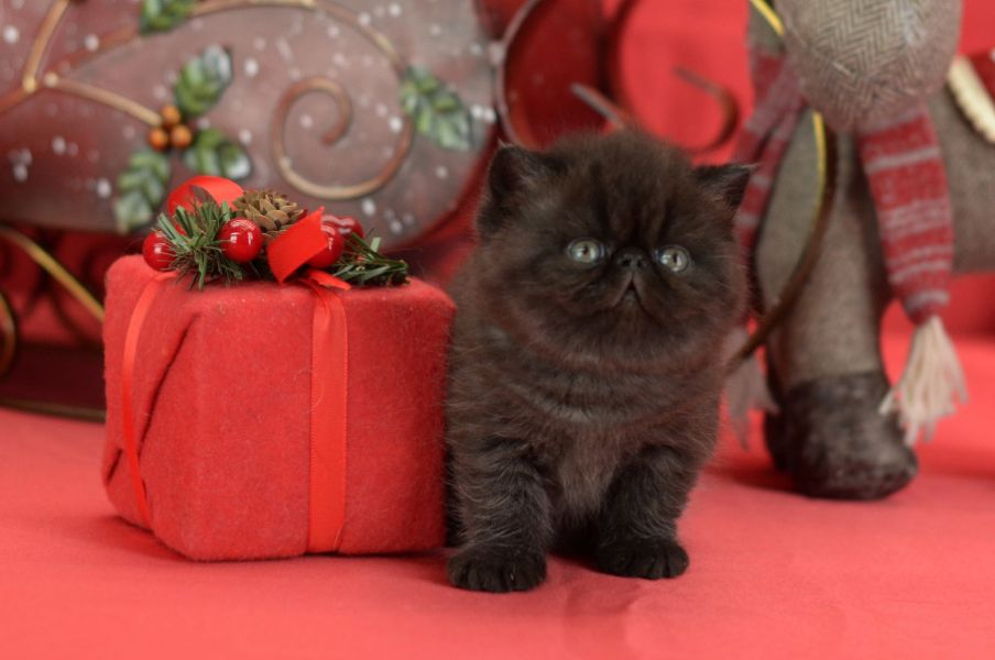 Exotic shorthair  razza persiana