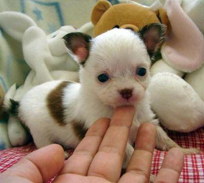 Regalo cuccioli di chihuahua for Regalo a chi