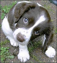 Cuccioli di English Springer Spaniel ( per regalo )