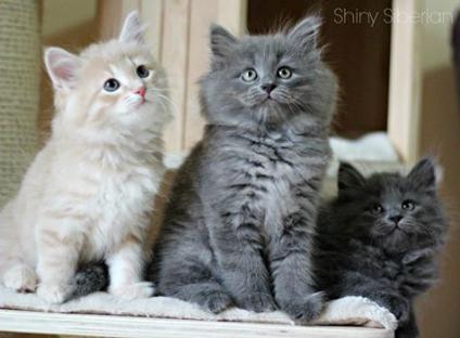 Gatto siberiano regalo sconto definizione for Cerco divano in regalo milano