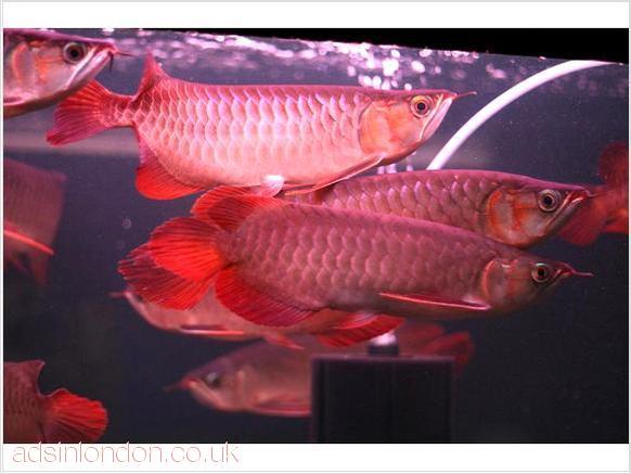 Dolce acquario tropicale per pesci arowana qualit abbiamo for Acquario per pesci rossi usato