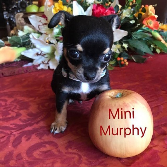 Regalo cuccioli di chihuahua Mini toy