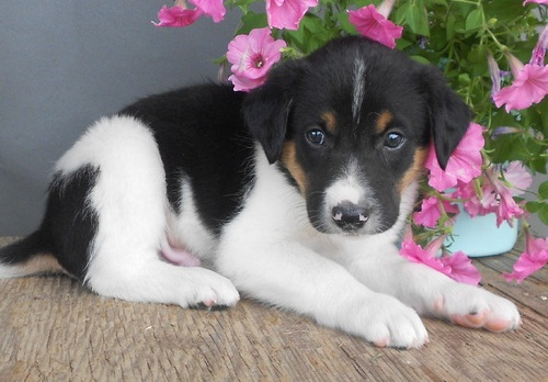adorabili cuccioli di border collie in regalo