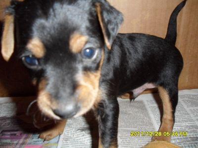 Cuccioli di pincher nani di piccola taglia for Pincher cucciolo