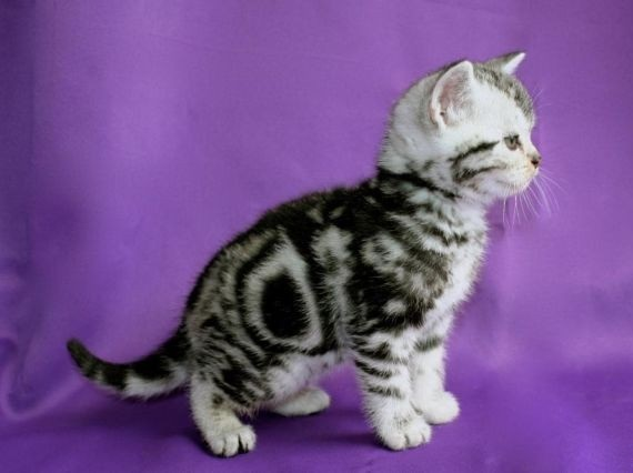 Gatta british shorthair !
