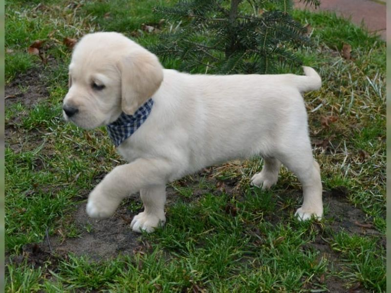 Golden retriever cuccioli con pedigree