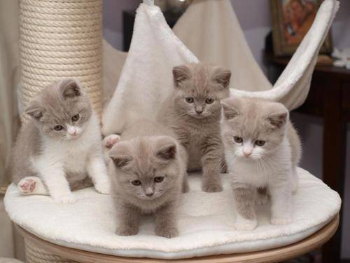 GATTINI BRITISH SHORTHAIR, PEDIGREE (IN REGALO)   Disponibili subito bellissimi gattini british shor