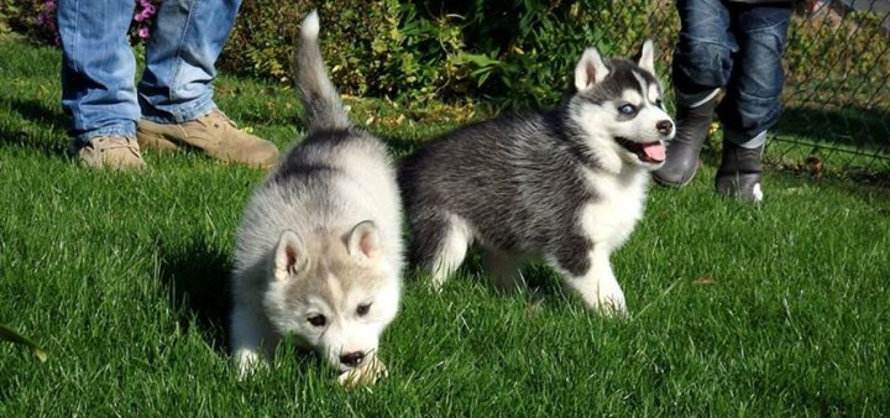 Annunci casa e giardino animali roma - Husky con occhi diversi ...