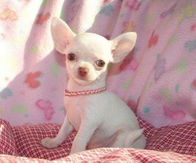 Regalo bellissime cuccioli di chihuahua for Regalo a chi