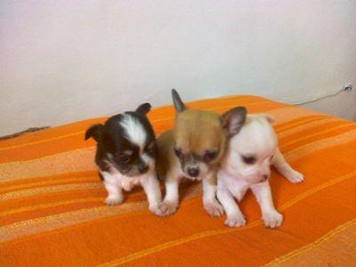 Chihuahua cuccioli vendo for Vendo chihuahua barcelona