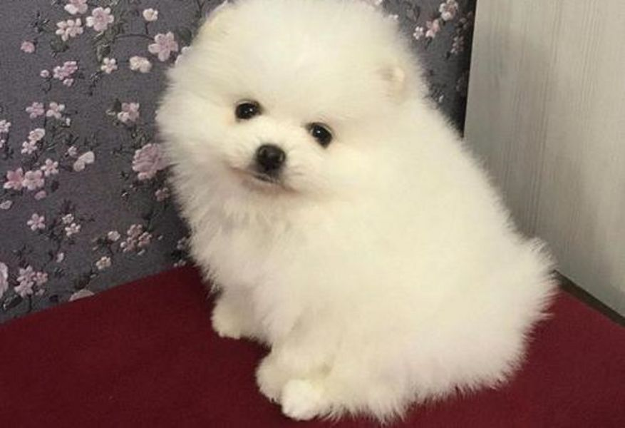 Regalo Cuccioli Pomerania Mini Toy disponibili