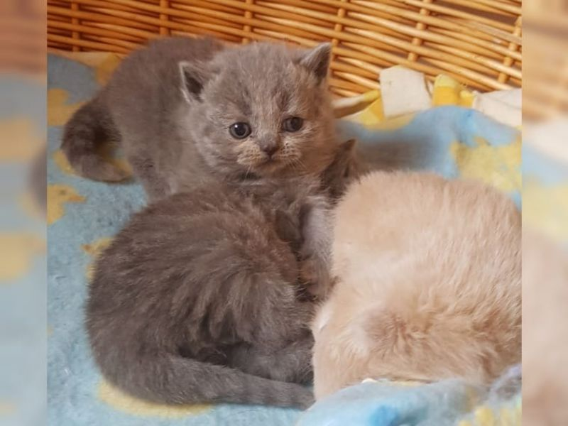 Gattini British Shorthair