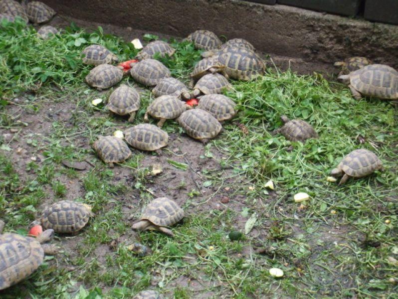 Testudo hermanni for Tartaruga prezzo
