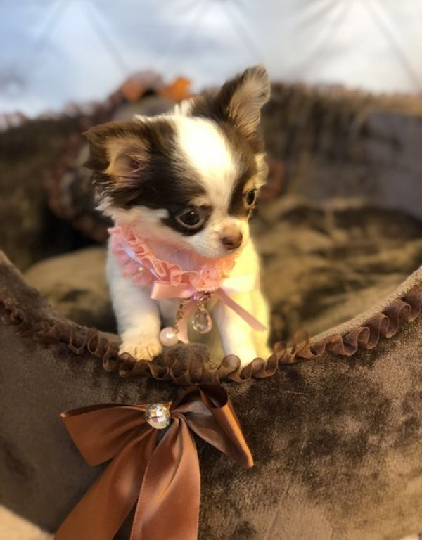 REGALO: cuccioli maschi e femmine Chihuahua mini toy