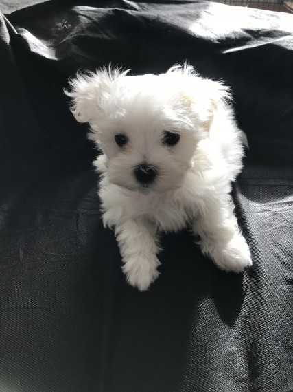 Regalo Cuccioli maltesi maschio e femmina disponibili ,