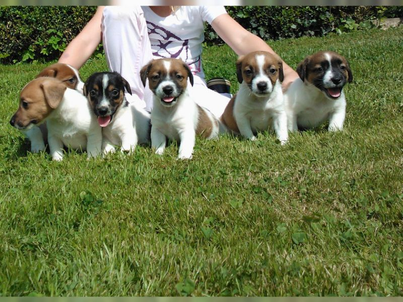 Regalo Jack Russell Terrier