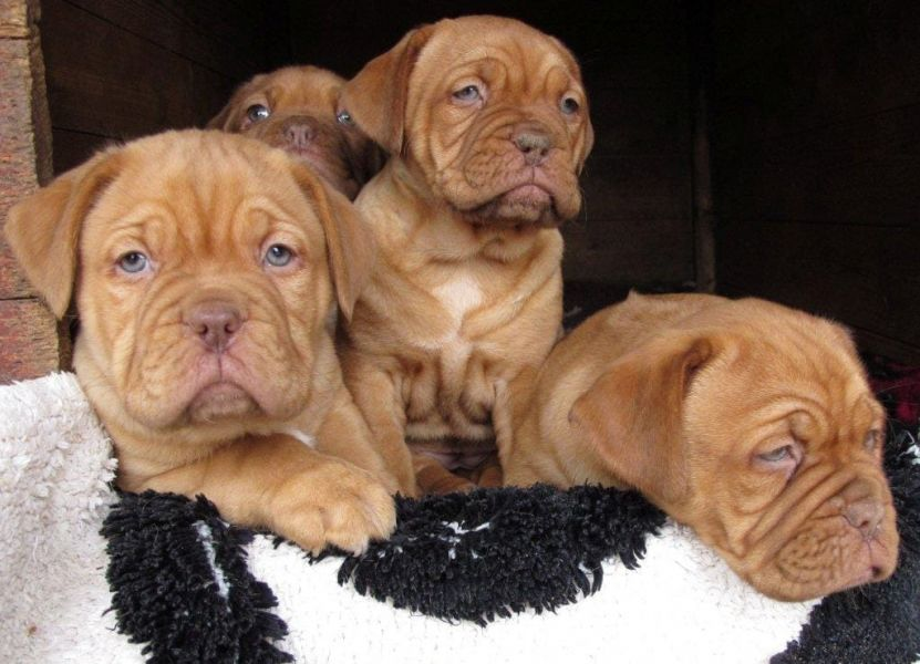 Cuccioli di dogue bordeaux ( per regalo )