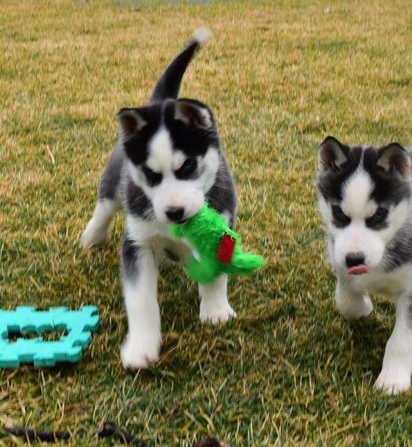 Maschio E Femmina Siberian Husky Cuccioli In Cerca Di Una Casa