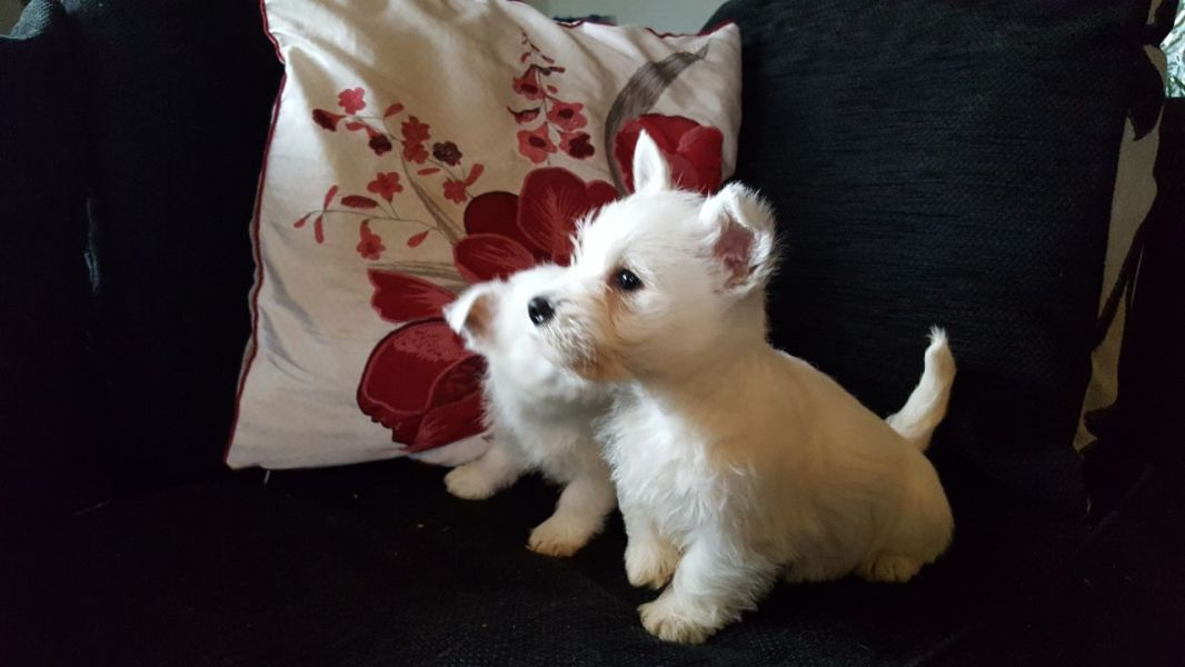 AKC West Highland White Terrier
