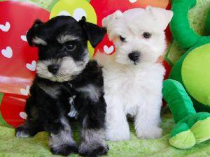 Cuccioli di miniature schnauzer gratis for Cerco mobili gratis