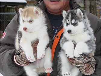 Bella cuccioli di husky pronti a partire - Husky occhi diversi ...