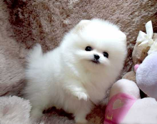 Regalo cuccioli di volpino pomeranian mini toy