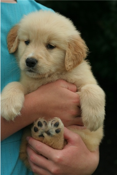 REGALO Golden retriver cuccioli