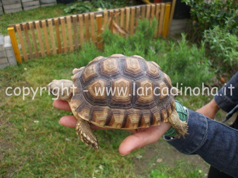 Tartarughe terrestri for Terrario per tartarughe acquatiche