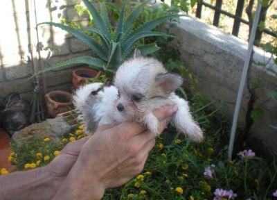Cuccioli maltese in regalo verona