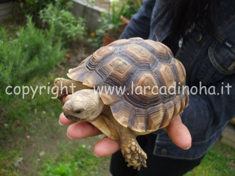 Tartarughe terrestri for Prezzo tartarughe