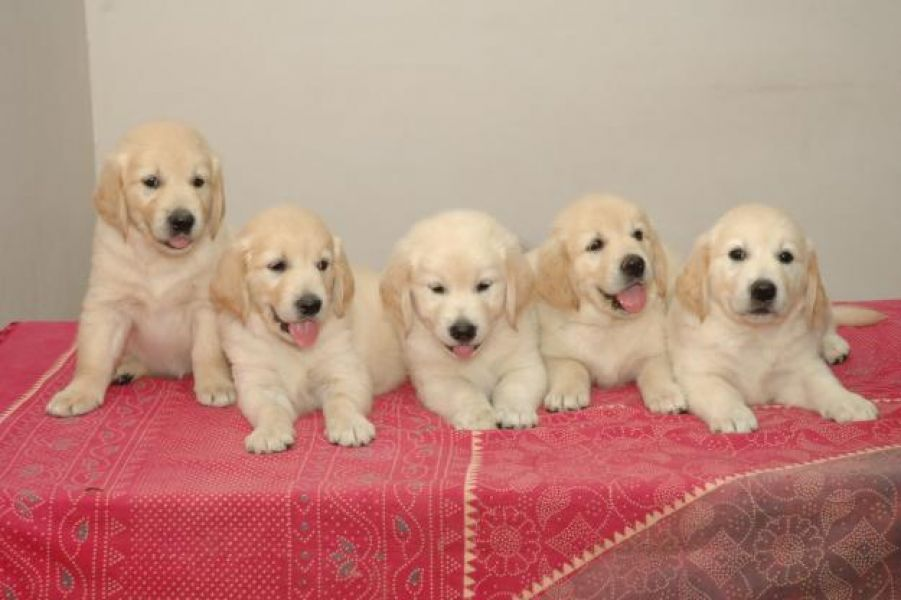 Cucciolo golden retriever addestrato a casa per regalo