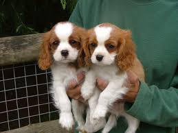 Regalo Cuccioli di Cavalier King Disponibili