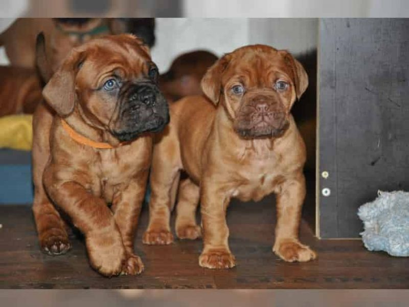 Regalo Cuccioli di dogue de bordeaux