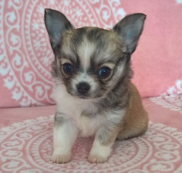 Chihuahua toy beige micro