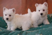 West Highland White Terrier ☮ Puppies✔ ✔💕 Delivery is possible �