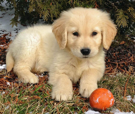 Adorabili cuccioli di golden retriever
