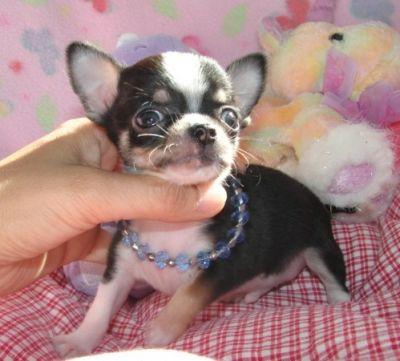 Regalo Cuccioli Chihuahua Genova Trucchi Per Vincere A Lotto