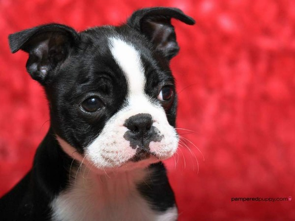 Boston terrier cucciola