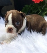 REGALO Cuccioli Boston terrier
