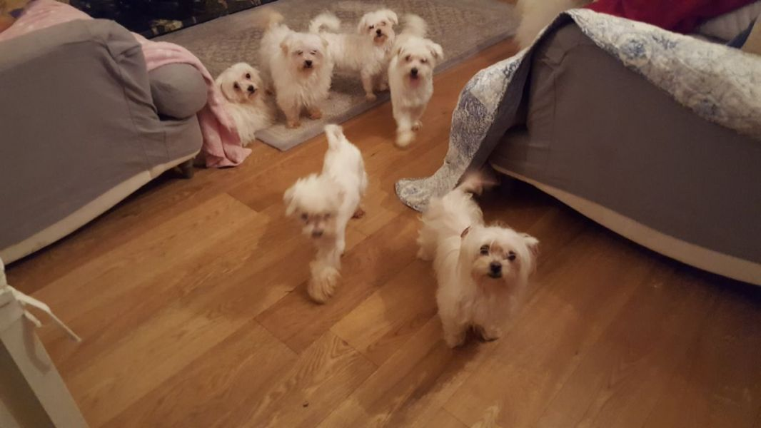 Cuccioli maltese mini toy con pedigree