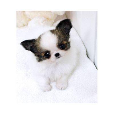 Chihuahua toy roma regalo