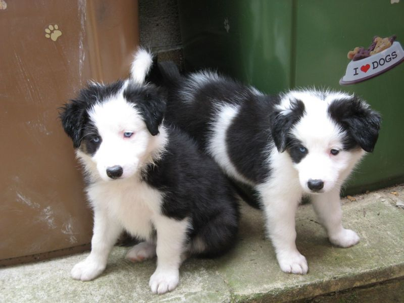 Maschio e femmina border Collie