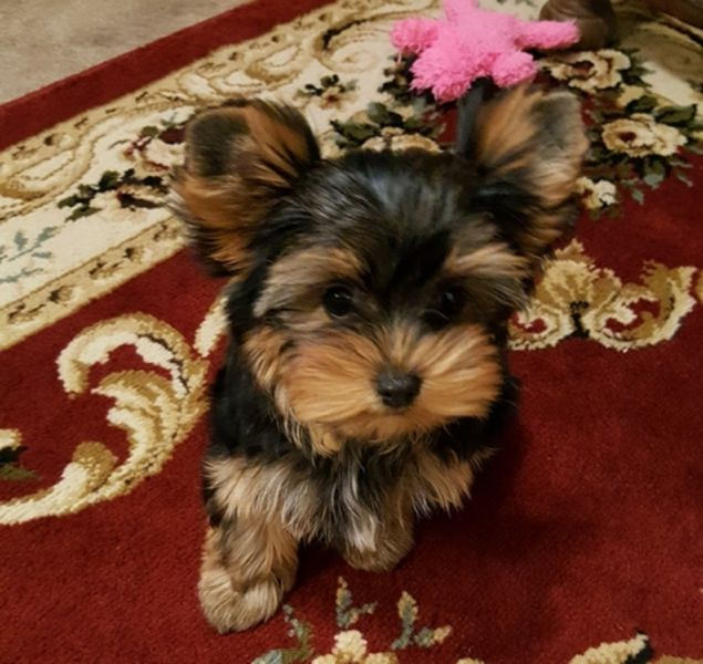 REGALO: cuccioli maschi e femmine Yorkshire Terrier mini toy